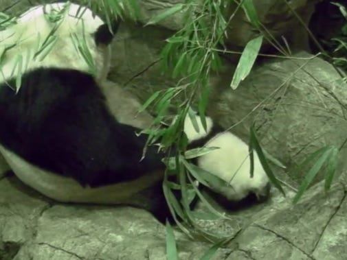 Little Bei Bei Took His First Steps Then Got The Shit Cuddled Out Of Him By His Mom