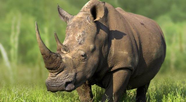 rhinoceros-picture