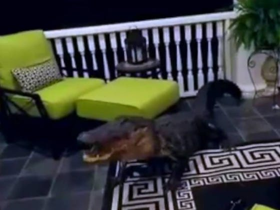 Nothing Like Waking Up On Easter Sunday To Find A 9-Foot Alligator Chilling On Your Porch