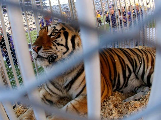 Ed Orgeron Tells 4-Star QB That If He Commits To LSU He'll Bring A Real Life Tiger To His Signing Day