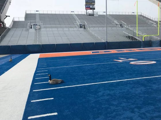 Geese Won't Stop Landing On Boise State's Blue Turf Thinking Its A Lake