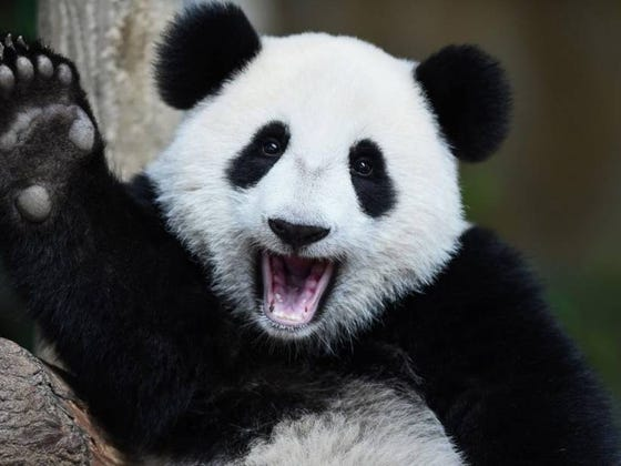 Scientists Climbed Into A Sinkhole And Found 22,000 Year Old Panda Fossils