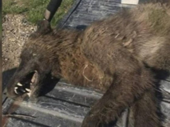 The Government is Telling Us That Demonic 'Wolf-like' Creature is Just a Wolf