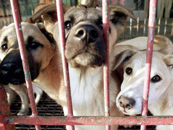 Killing Dogs For Meat Ruled Illegal By South Korean Court (About A Million Years Too Late)