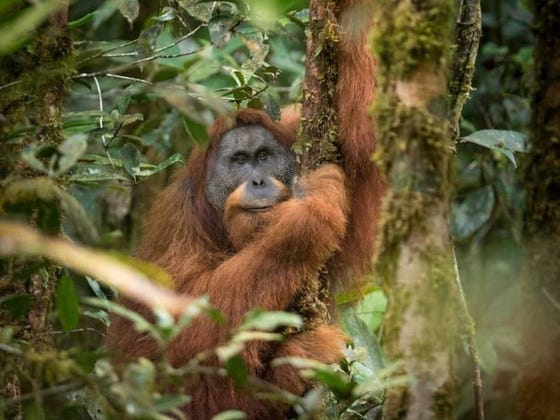 World's Rarest Ape Damned To Extinction By Chinese-Funded Hydroelectric Dam
